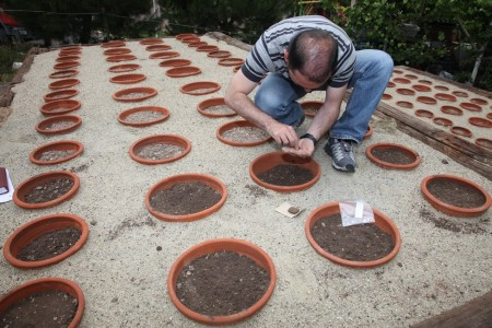İstanbulensis tohumları ekilirken